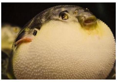 """中国游客去日本吃""""河豚"""",一口气点50只,结账时却成了哑巴"""