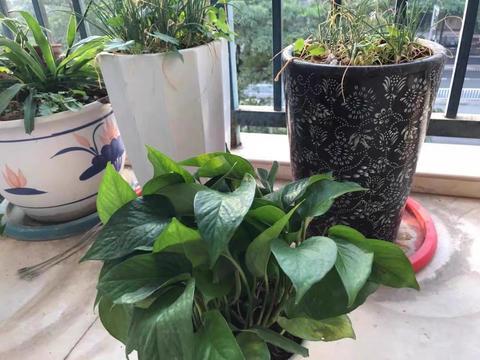 绿萝冻伤了,摆在这个地方,冬天也能长新芽,一个月长50公分