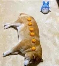用橘子给狗子量身高?没想到这方法竟意外的好用