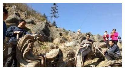 悬崖上活了千百年的龙形崖柏被挖下,最后只换来一朵大红花!