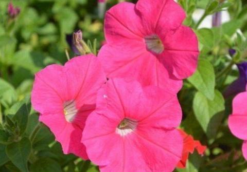 阳台养这几款植物,花开如春,好养易活,轻松打造小花园