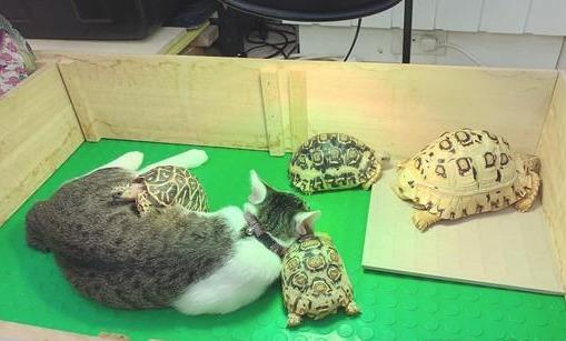 这样的枕头不会硬吗?猫咪爱上家里的乌龟,还跟它们一起睡觉