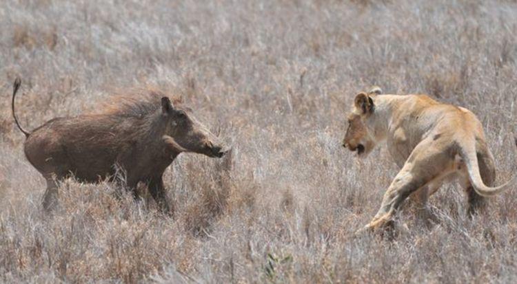饥饿母狮遇到巨大的公疣猪,一个致命错误让战斗数秒就结束