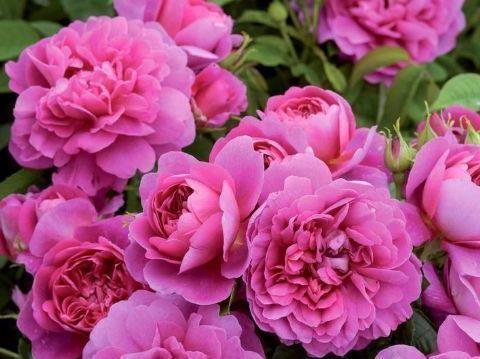 """""""珍品玫瑰""""安妮公主,花团锦簇,芳姿耀眼,堪称是养花首选"""
