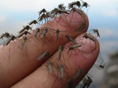 """全球最大的蚊子养殖工厂,用""""鲜血""""喂养,每天诞生2500万只蚊子"""