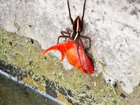 南非大蜘蛛竟然下池塘抓走小金鱼,小金鱼体型是大蜘蛛的两倍