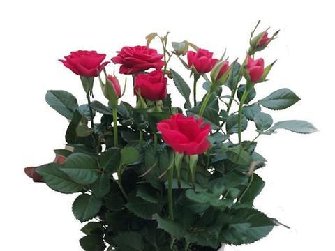 花香有益也有害,养香花盆栽选择合适的,满室芬香又带来健康