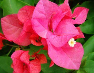 """喜欢菊花,就养盆""""玫瑰珍品""""香云,花开鲜艳娇贵,美艳欲滴!"""