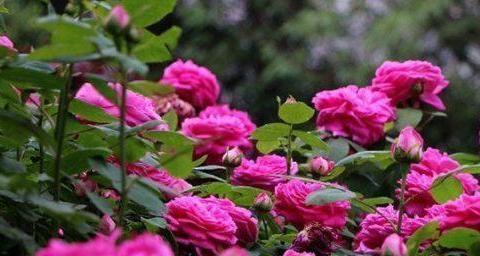 """""""优良玫瑰""""蓝月亮玫瑰,花色紫红,艳压群芳,可以说是养花必备"""