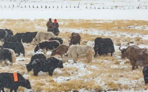 白雪、牛羊、牧人…一幅绝美牧归图