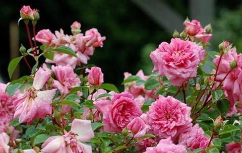 """喜欢菊花,不如养""""精品月季""""诺埃尔玫瑰,绚丽多姿,轻松爆盆美"""