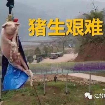 迎鼠年竟让肥猪68米蹦极?网友炸了!景区:不蹦了,已送屠宰场
