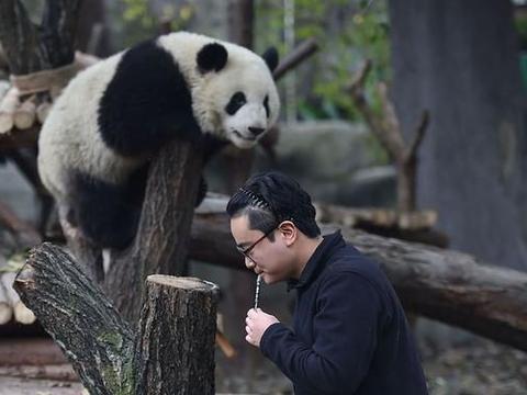 大熊猫被国外有多牛 中国的它就有多皮
