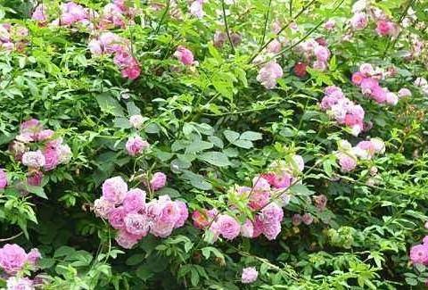 初一作文:野蔷薇