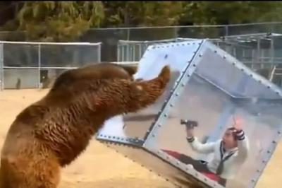 女子为接近棕熊,把自己关进透明箱,随后的画面让人心跳加速