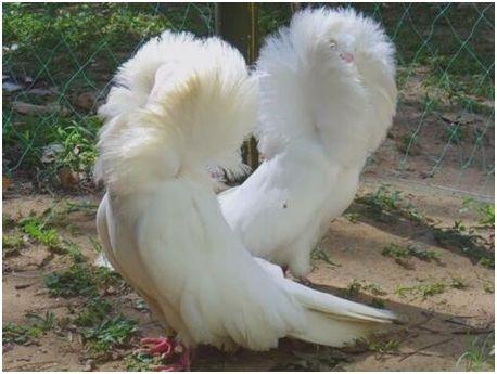 """世界上最时髦的鸟,雅各宾鸽穿高领皮草大衣,号称最时髦""""贵妇"""""""
