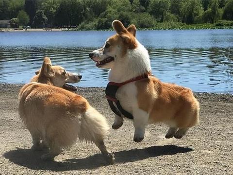 宠物狗并不需断尾!错位断尾将导致爱犬终身难以维持平衡