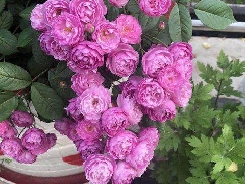 """喜欢玫瑰,不如养盆珍品月季""""葡萄园之歌"""",花繁叶茂,美丽怡人"""