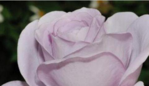 """喜欢菊花,不如养盆""""高档玫瑰""""蓝宝石,花香四溢,珍贵似宝石"""