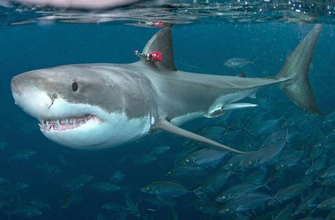大白鲨离奇受伤,头上现巨大咬痕,科学家找到真凶后很无奈