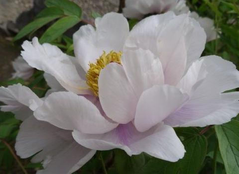 """喜欢菊花,不如养盆优良牡丹""""凤丹粉""""距今有300余岁,魅力不减"""
