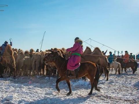 锡林郭勒冬季那达幕,套骆驼是很有特色的项目