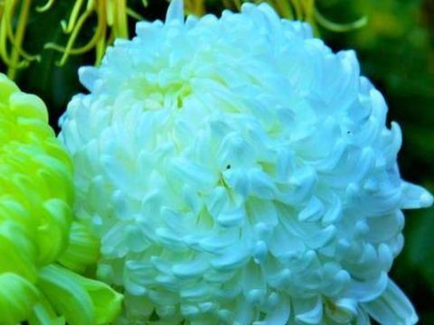 """喜欢菊花,不如养盆优良名菊""""盘龙尽染""""似丝露花语,粉嫩优雅"""