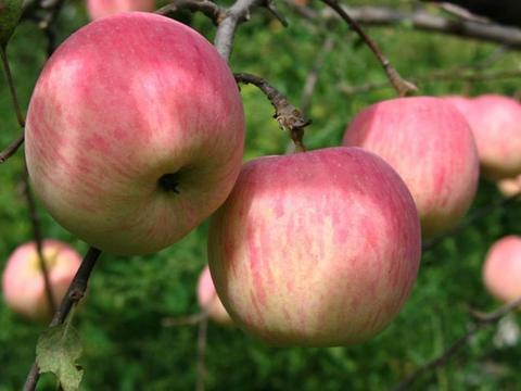 关于种植苹果,国光种类的整形修剪应采取哪些措施呢?学习一下吧