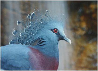 """世界上最大的鸽子,维多利亚凤冠鸠体长半米多,是""""鸽中孔雀"""""""