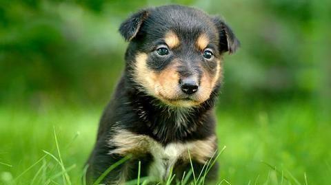 犬白内障相关知识:幼犬也可能是患者,而病因就是遗传的基因