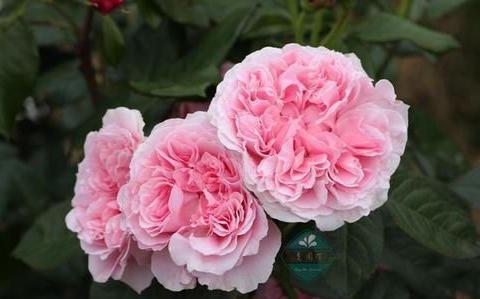 """精品月季""""米兰达"""",仙气十足,极为漂亮,可以说是养花必备"""