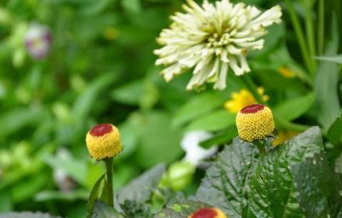 """喜欢养菊不如选""""富贵菊"""",花型奇特,植株矮小适合盆栽养"""