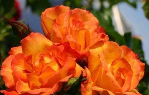 """""""珍稀玫瑰""""宠爱小姐,金蕊红衣,香气甜润,可以说是养花必备"""