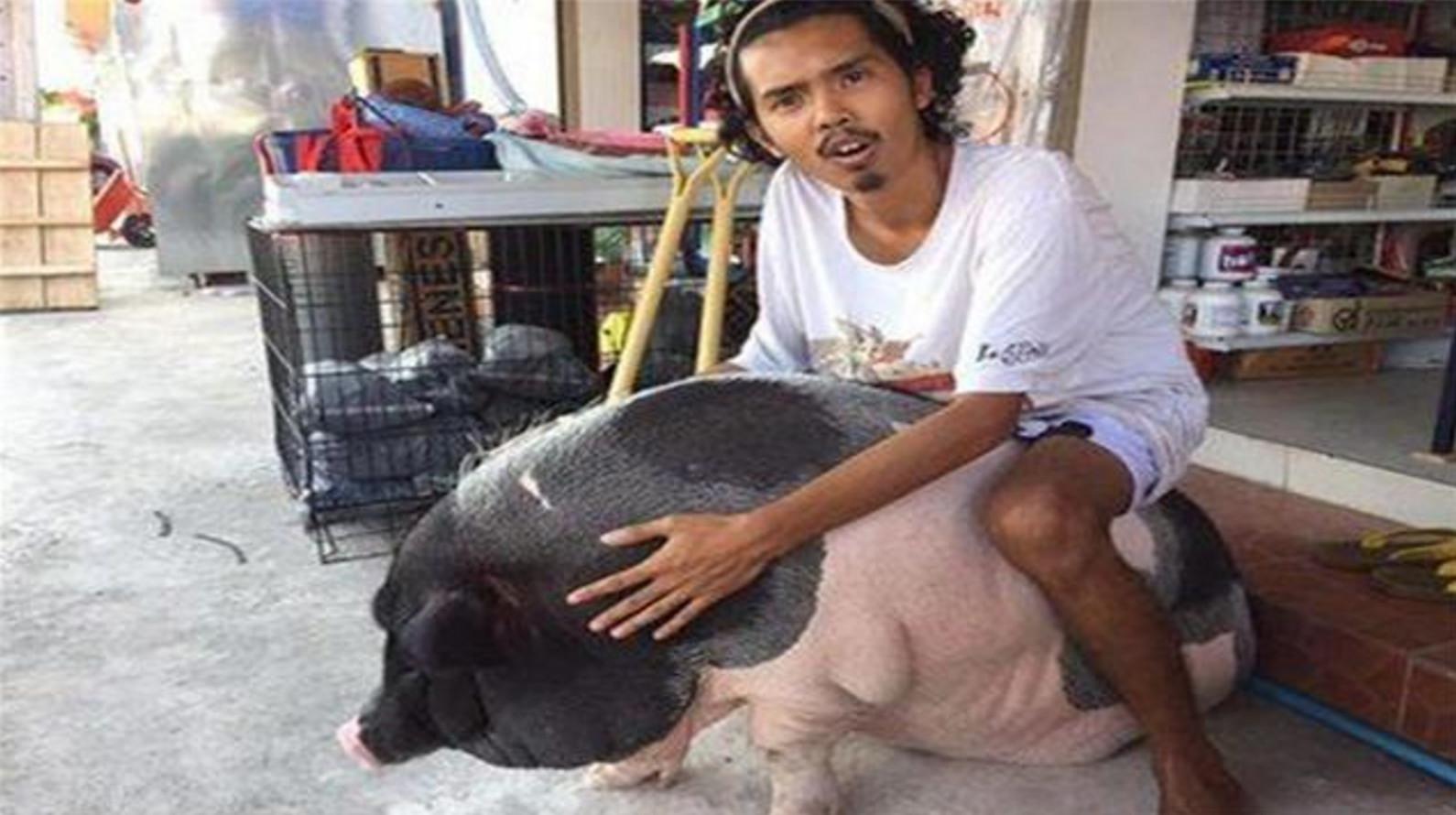 外国男子因为感情受伤,和一头母猪生活在一起,并且宣布要结婚