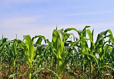 """山西有一个中国传统村落,它是""""昭君出塞第一村"""",玉米是其特产"""
