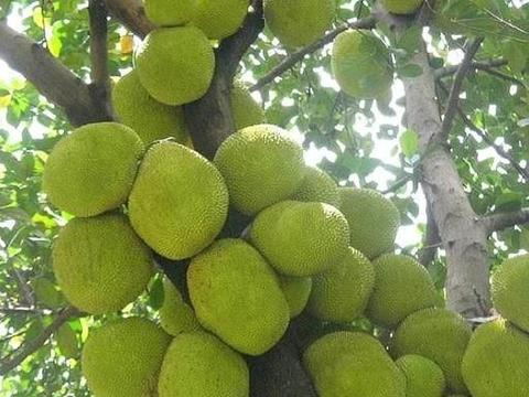 农村一种南方特有水果,每亩产量1万斤,今年市场热销一斤8元