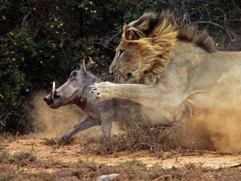 身上画眼睛的牛在狮子眼皮下奔跑,一双眼睛让弱肉强食规律不再生