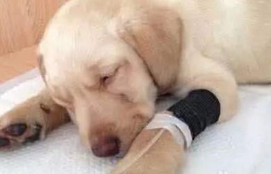 """当狗狗出现这情况后,主人别忽视,爱犬可能得了""""传染病"""""""