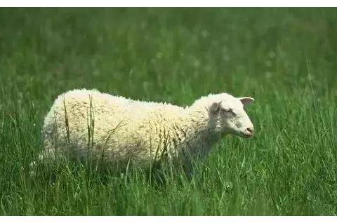 生肖羊:将来的运气如何?