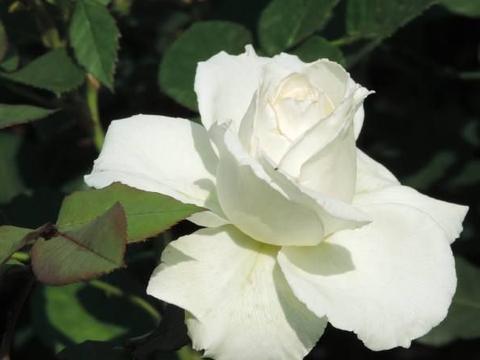 """喜欢菊花,不如养盆优良名菊""""花仙子"""",纯白无瑕,美丽清嗲!"""