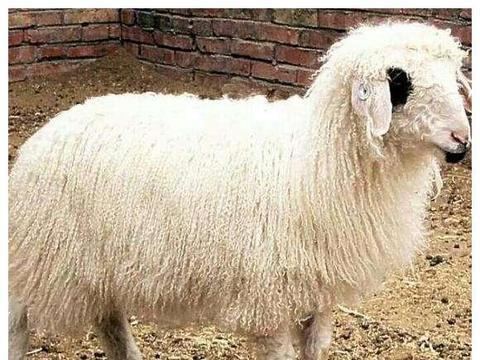 为什么蒙古族喜欢吃大羊肉,西北汉族喜欢吃羊羔肉?