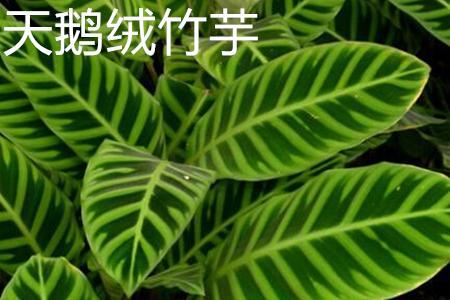 应该如何去辨别天鹅绒竹芋?