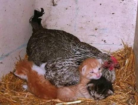 当母鸡的母爱泛滥了,真是一发不可收拾,哈哈