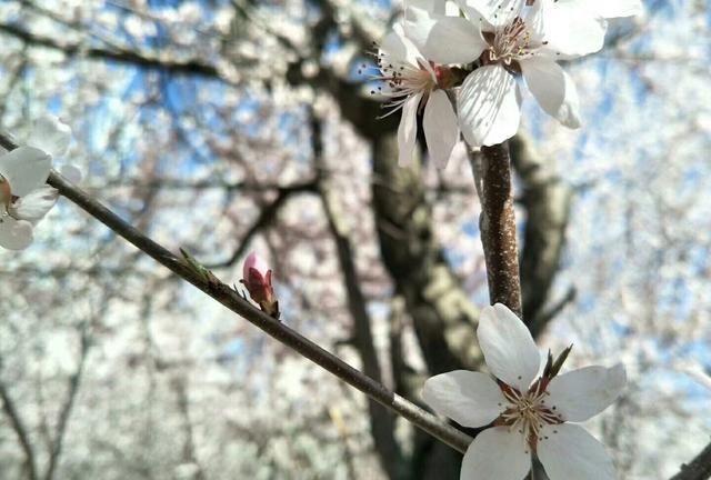 人间四月天,呼和浩特民族学院图书馆一隅,朵朵杏花竞相开放