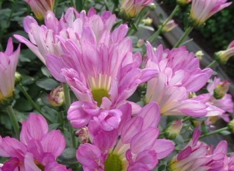 """喜欢养花,不如养盆 """"葡萄园之歌"""",似蝴蝶飞舞,粉嫩娇羞!"""