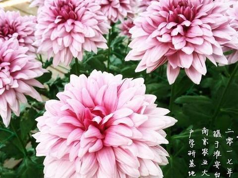 """喜欢菊花,不如养盆优良名菊""""万山红遍"""",端庄大气,颜值高"""