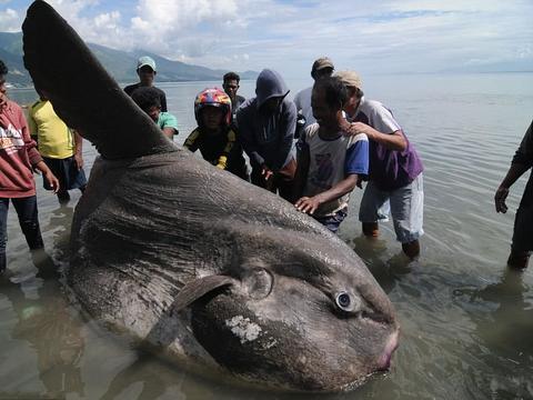 奇葩大鱼在海边翻车了,渔民一看,这种鱼就叫翻车鱼