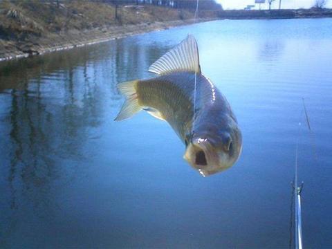这种鱼冬季最为肥美,寓意美好团年饭常备,过年你吃了吗
