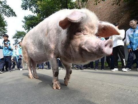 猪价黯然下跌或涨势明显?没差!生猪有价无市没跑了?