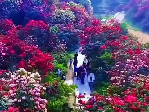 世界上最大的天然花园:贵州毕节百里杜鹃风景名胜区